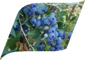 Bluecrop (10 pcs)