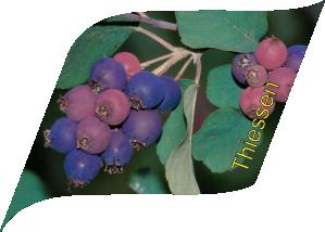 Тиссен (10 штук)
